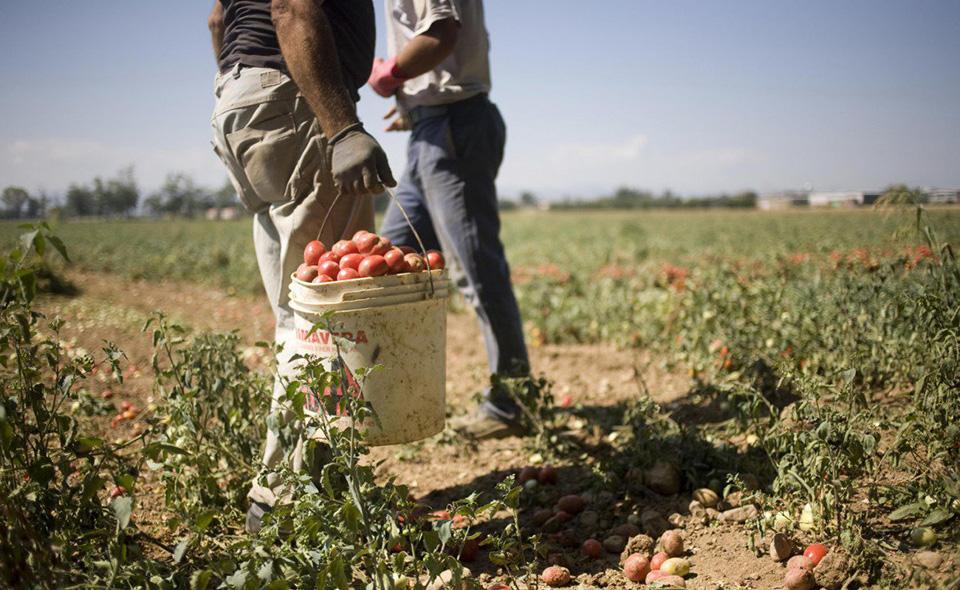 braccianti-raccolta1-pomodori